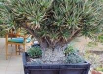 Aloe-ramosissima