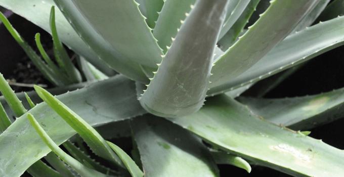 Pianta Aloe Vera Culitvare