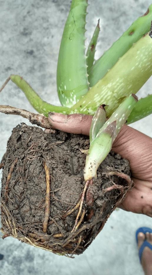 Trapianto Aloe Vera